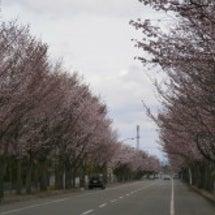 桜の季節、到来!