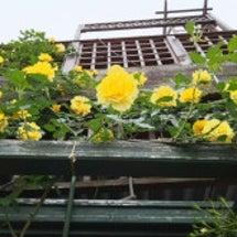 薔薇の壁ができてます…