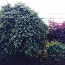 我が家の枝垂れ梅。