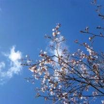 桜ちゃんが~