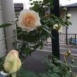 玄関前の様子と開花し…