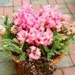 ピンクの寄せ植え