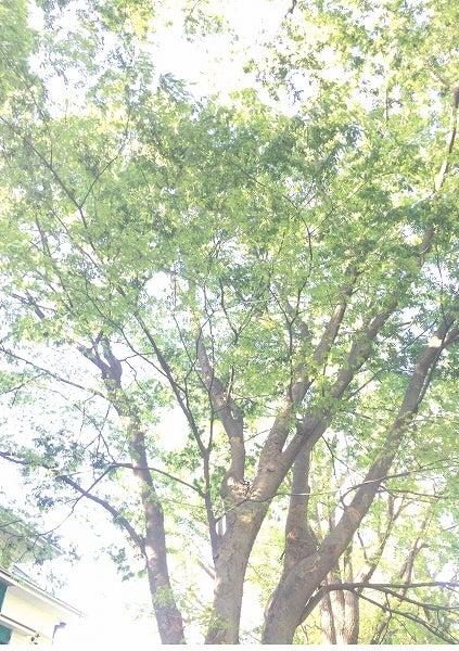 エリスマン邸前の木