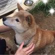 柴犬〜しばちゃん