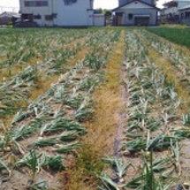 石井農園de玉ねぎ収…