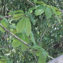 田植と栃の葉