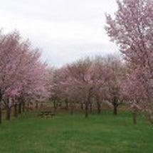 北海道は桜シーズン