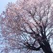 オホーツクに桜前線到…