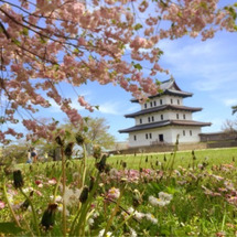 松前桜遅咲き満開