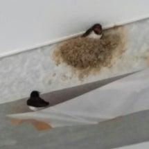 ツバメの巣を見つけま…