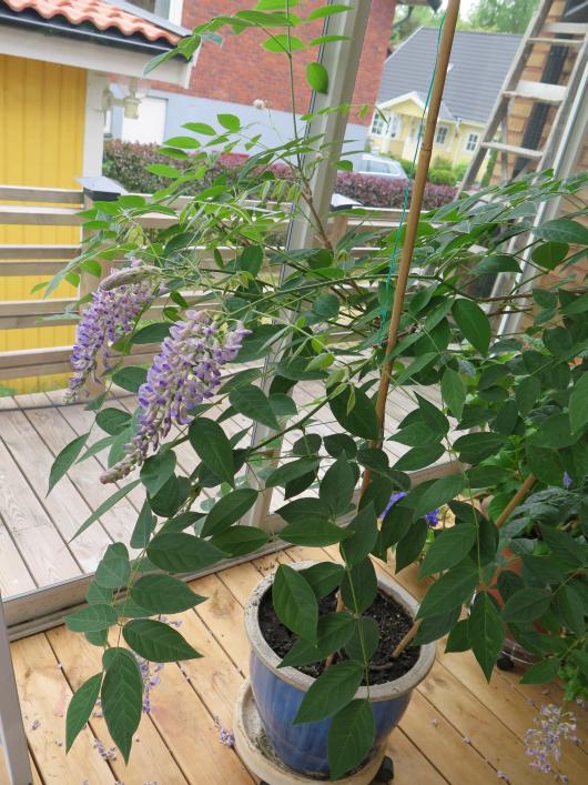 紫陽花と藤
