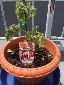 家庭菜園03_ミニトマト