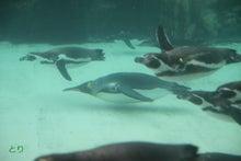 2016年1月23日の葛西のペンギンたち