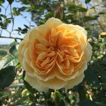 バラ、ばら、薔薇 の…
