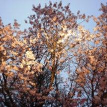 お寺で夜桜の宴