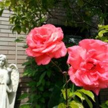 我が家の庭日記~バラ…
