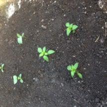 夏野菜の植付