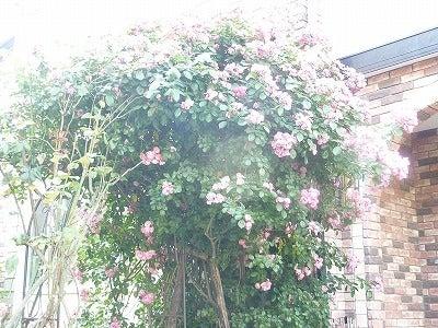 バラ屋敷1