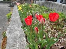一番早く咲いたのは赤い花です。