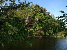 公園西側の藤の花