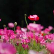 そよ風に揺れる花畑