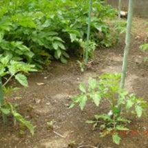 トマト3種
