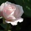 バラ 開花