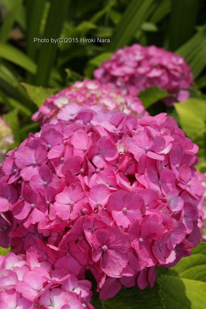 光景 sight0083 紫陽花