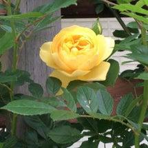 黄〜橙の庭に咲くバラ