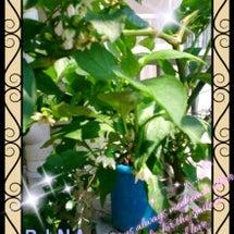 パプリカの花