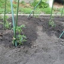 きゅうりの苗を、植え…