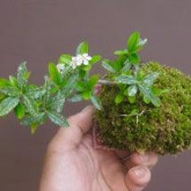盆栽:生き残りの苔玉