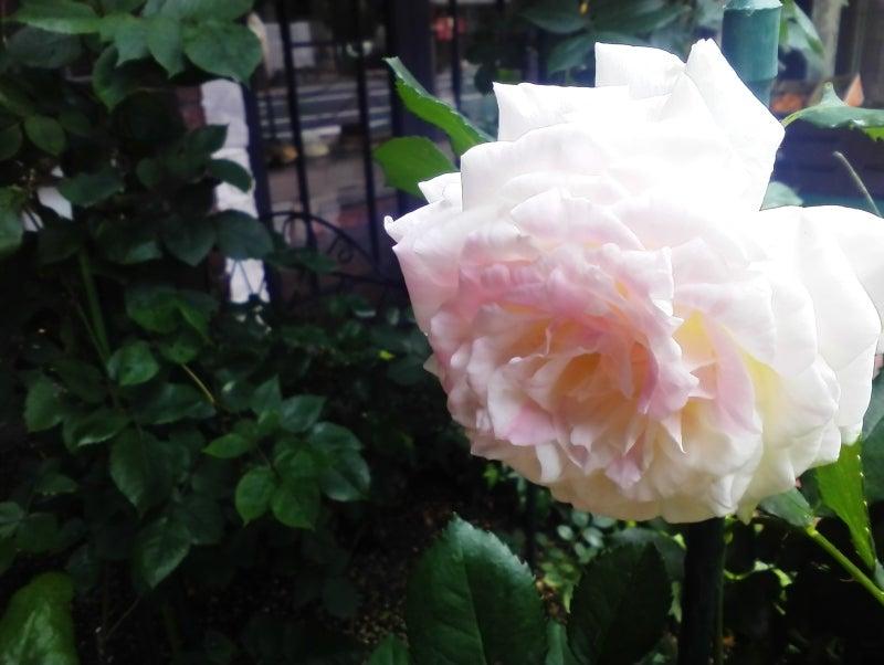 うすいピンクのバラ