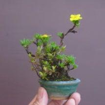 盆栽:キンロバイの寄…