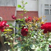 ベルサイユのばらの薔…