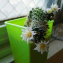 ~サボテンの花~