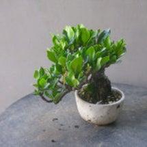 盆栽:クチナシのミニ…