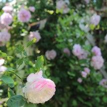 薔薇 アンドレプリシ…