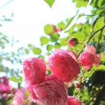 薔薇ポンポネッラ他