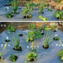 夏野菜栽培《オクラ》…