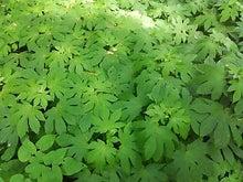 かえでの葉 自然教育園
