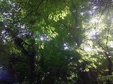 新緑もみじ木漏れ日