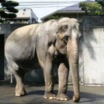 象の「はな子」