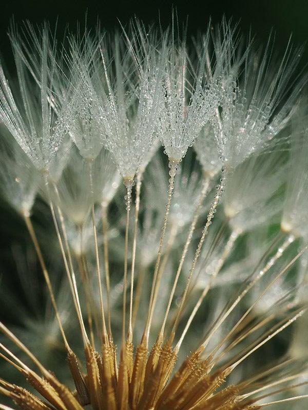 160514s水滴 タンポポの綿毛4