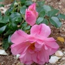 バラの花第3号