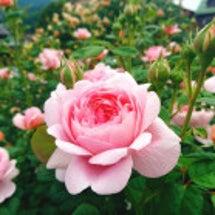 薔薇をみて想うこと