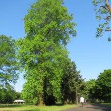 ユリの樹1