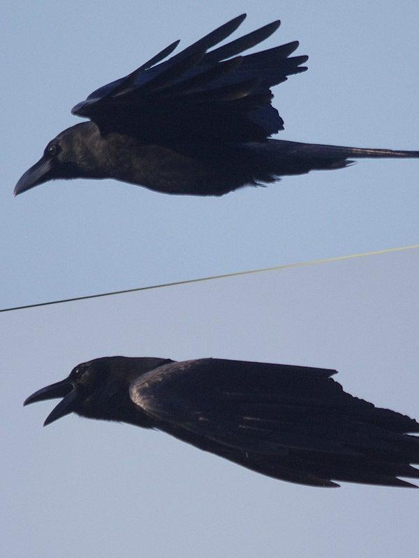 160522sカラス飛ぶ