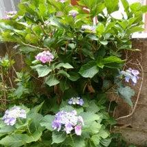 紫陽花が咲きはじめま…