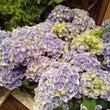 白ふちポップな紫陽花